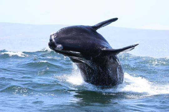 whale jumping out of water, whale watching in south africa