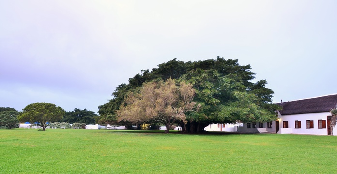 the fig tree at De Hoop collection