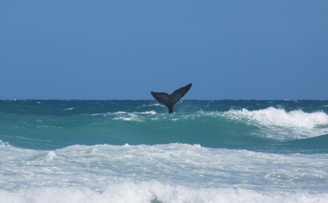 a whale showing off in the waves at de hoop nature reserve
