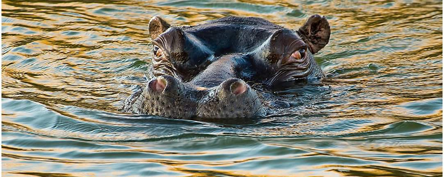 Hippo floating in the Seekoi gat at Karoo Gariep